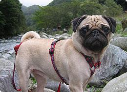 子犬 パグ
